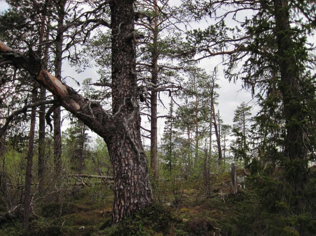 Tallurskog i Änok