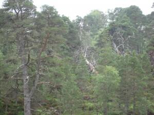 Caledonian pine forest med Scots pine, alltså skotsk tallskog med den tall vi känner från våra skogar