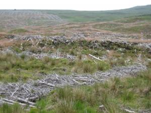 Planteringar med främmande trädslag har avvecklats