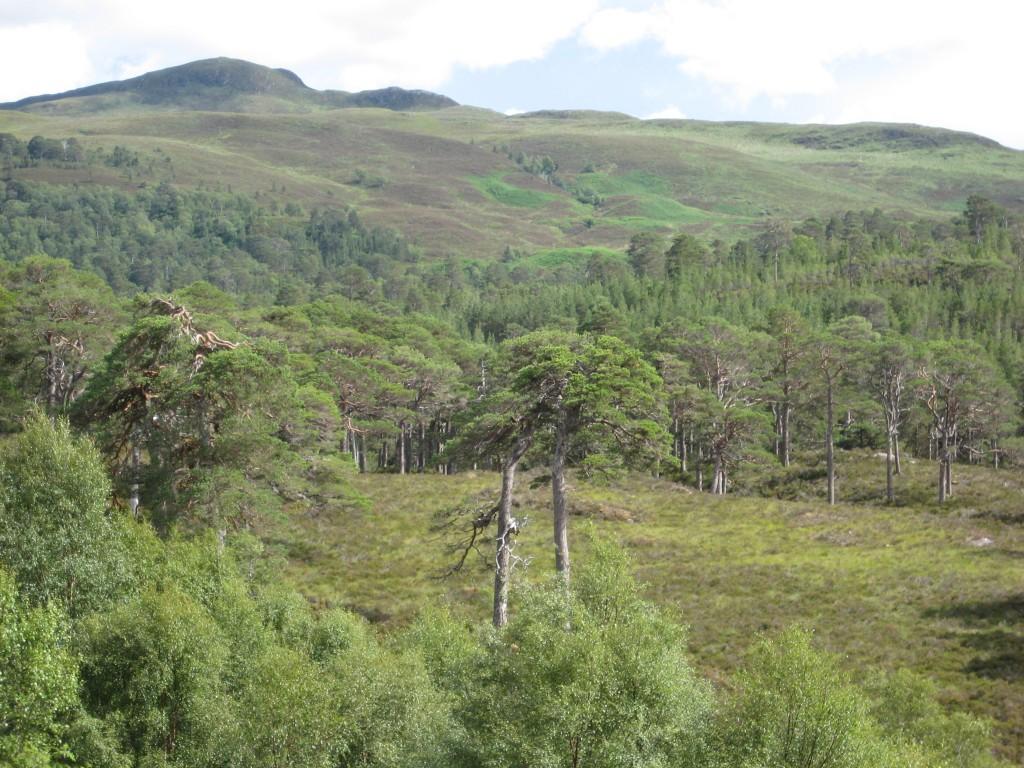 En skotsk del av barrskogsbältet