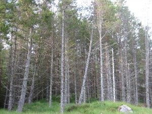 Contortaplantering nära Glen Affric