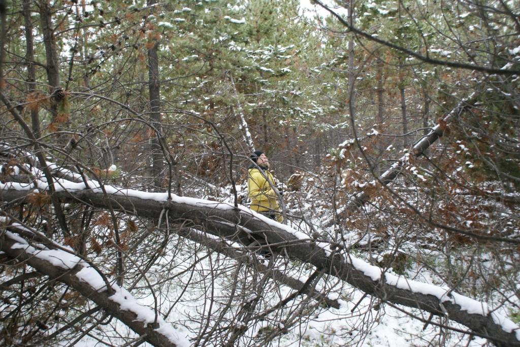 Contortaplanering i fjällnära skog  nedanför Sörberget